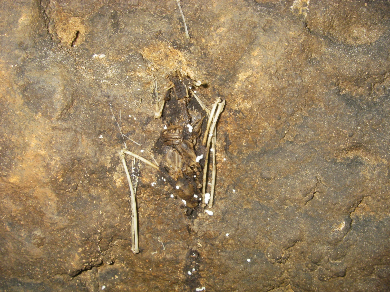 CarrollCave-BatCensus-Feb2020-21
